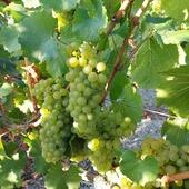Petit récapitulatif de la vendange 2020.  De la vigne au pressoir. 🍇.  Nous remercions tout le personnel des vendanges  pour leur bonne humeur et leur super travail.  A l'année prochaine 🥂 🍇  #vendanges #vendanges2020 #vignes #vignerons #vendangeurs #secateurs #chardonnay #pinotnoir #raisins #grappes #cuvee #taille #pressoir #pressurage #champagne #champagnegruet #champagnegruetetfils #vignoble #champagneardenne #marne #bethon