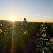 Travail au levé du soleil en ces fortes chaleurs !  À cette période de l'année, nous devons relever les fils, mettre des agrafes et palisser les vignes.   Ces travaux consistent à coincer les rameaux dans les fils afin d'éviter les casses de ces derniers lors des intempéries et des passages des engins viticoles. 🚜🍇  Profitez bien du soleil et rafraîchissez-vous avec une coupe de notre champagne. 🥂🍾  #gruet #palissage #agrafes # vigne #vignes #floraison #flowering #raisin #grape #paysage #landscape #champagne champagnegruet #champagnegruetetfils #leverdusoleil #vigneron #vignoble # vineyard #champagneardenne #marne #bethon