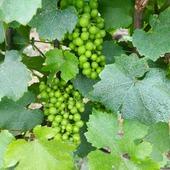 """De belles grappes de raisin de Chardonnay par ici 🍇😍 Silence, ça pousse.   Le Chardonnay est réparti sur 30% du vignoble de champagne, il est le plus fin des raisins de champagne. 🍇  Il est principalement issu de la côte des blancs. 🍾  Utilisé pour la fabrication des champagnes """"Blanc de Bancs"""", le Chardonnay est connu pour ses arômes délicats et floraux. 🍁  Le week-end approche, quoi de prévu ??    ⚠️ L'abus d'alcool est dangereux pour la santé, à consommer avec modération !  #champagne #champagnegruet #gruetetfils #champagnegruetetfils #gruet #raisins #grapes #grape #vigne #vine #vignoble #vendange #vintage #arome #feuille #feuilledevigne #vigneron #viticole #viticulture #caviste #cuviste #vendangeurs #bulle #bubble #champagnelover #champagnelovers #"""