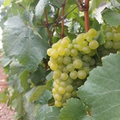 Les vendanges arrivent à grands pas.. les jolies grappes sont prêtes à être cueillies. Préparez vos sécateurs 🍇  #vendanges #vendanges2020 #grappe #raisin # vignes #ceuillette #vignoble #secateur #champagne #champagneardenne #marne #bethon #gruetetfils