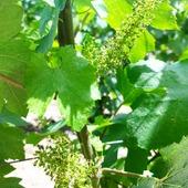 Le vigne en fleuraison 🍇  #gruet #gruetetfils #champagne #champagnegruet #champagnegruetetfils #fleuraison #grappe #vignoble #jus #bouteille #bottle #champagneardenne #marne #bethon